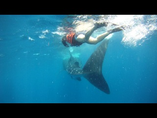 Мексика,май 2013 г. Плавание в море с китовыми акулами.