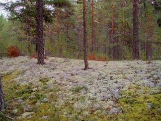 Медвежья Икра - И на камнях растут деревья