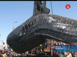 На побережье Аравийского моря обнаружена гигантская китовая акула