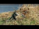 Южно-Камчатский кот и лиса. Знакомство. (Полная версия)