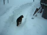 толстый кот, зима и снег... (Пончик решил прогуляться)