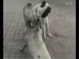 Собачьи бои сао vs пит, сао vs американский бульдог