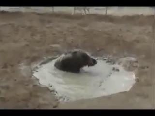 Собачьи бои аргентинский дог vs кабан