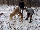 Собачьи бои питбуль Тайсон vs кавказская овчарка