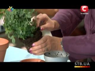 Как ухаживать за комнатной розой (видео обучение) [zhezelru]
