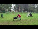 Руслан Яворский дрессировка собак