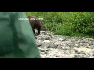 На Аляске туристы проигнорировали атаку медведя гризли