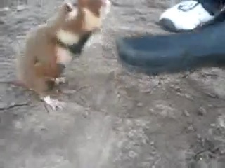 Бешаный хомяк..Дикий !!!  :D Хом'як напал на людей ! хаха ( NPS крыса )