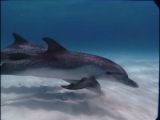 BBC: Прогулки под водой. Карибы, плавание с дельфинами