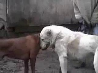 Бой Габо vs японская боевая собака Тоса Ину