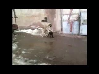 Собачьи бой Кангал vs Питбуль KANGAL VS PITTBULL NEW FIGHT