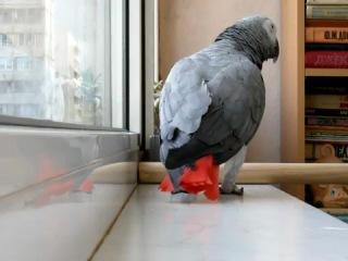 Попугай поет песню Ани Лорак