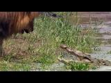 Лев король и крокодилы