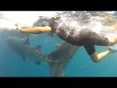 Купание с китовыми акулами 5