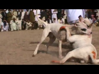 Собачьи бои - пакистанский бультерьер