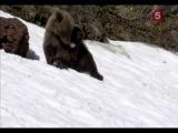 BBC Natural World . The Edge Of Eden . Living With Grizzlies / Мир Природы . На Краю Эдена . Жизнь Рядом С Гризли Часть 1