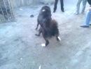 собачьи бои питбуль VS алабай