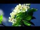 № 10 Весенние цветы. Распускающиеся бутоны вишни, груши, яблони...