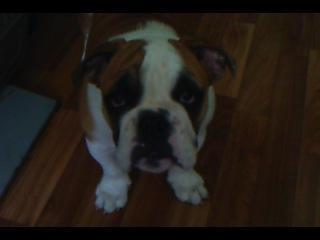 Мой щенок английского бульдога. Бэлла, 4 мес. 11.10.2011