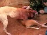 Собачьи бои питбуль сантьяго vs лаки (концовка)
