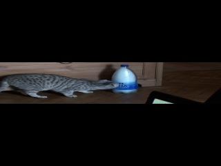 Кошка Шейла лижет бутылку