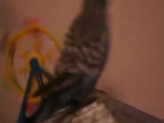 любимая игрушка нашего попугая