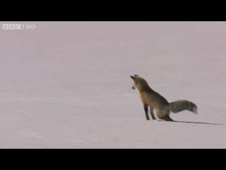 Как лиса ловит мышь (безумно красивое видео)