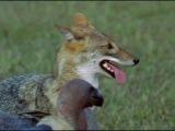 BBC- Жизнь животных - Плотоядные  ТИГР