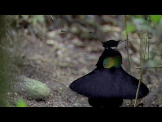 Брачный танец самца райской птицы! :)))))))))))