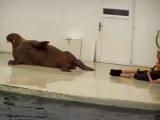 Даже морж качает пресс