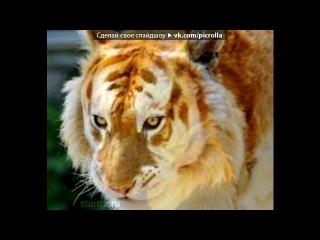 «тигры» под музыку ♥Ирыстон, Нохчо и Г1алг1ай, Адыгэ, Таулу-Къарачай, Сын Дагестана, и Абаз - это наш Северный Кавказ! - это любимая песня моего отчима!Жи есть!. Picrolla