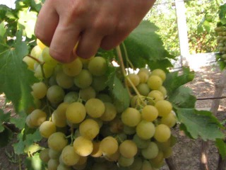 На винограднике у Гонина Юрия Ивановича