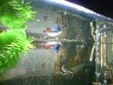 Петушиные пляски в аквариуме