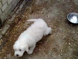 южнорусская овчарка Геарес Холмогор - щенок