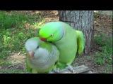 самый няшный голос попугая