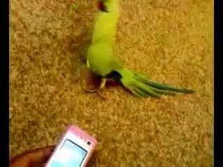 Приколы с животными Попугай танцует