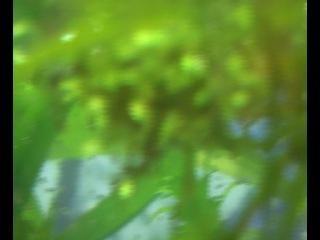 фильм №7 от 29.07.12г.гурами с мальками.