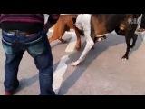 Собачьи бои бурбуль vs дог бой 2