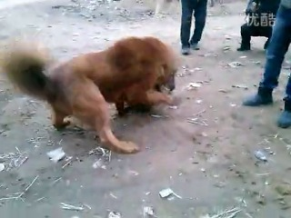 Собачьи бои пит/стафф vs тибетский мастифф