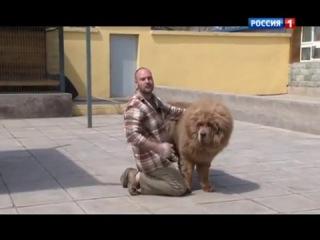 Планета собак - Тибетский мастиф
