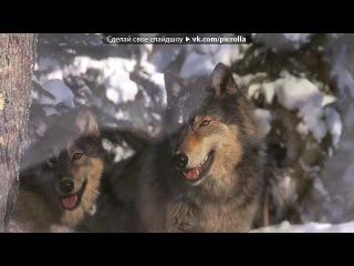 «волки» под музыку Медляк - Французский Рэп (!!!!!) класная музыка!!!!!!. Picrolla