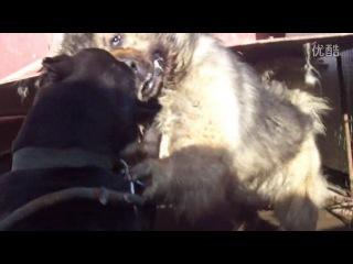Собачьи бой Кане Корсо против Кавказца