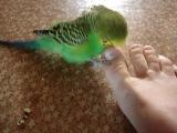 Мой очень смешной попугай Гоша!