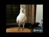 Попугай танцует Gangnam Style. Ржач до слез