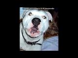 «Мой нежный и ласковый зверь...» под музыку Максти - Не называй его псом (про Американского пит_бультерьера). Picrolla