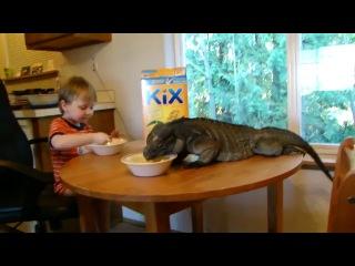 Совместный завтрак маленького мальчика и огромной игуаны