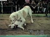 Собачий бой среднеазиат и бультерьер