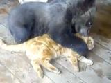 Кот сэнсэй обучает мишку сражаться! :)