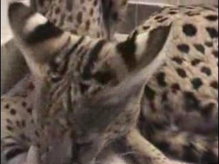 Ashera - помесь африканского Сервала, азиатского Леопардового кота и домашней кошки.