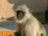 BBC: Воины Ханумана/ Мир природы.